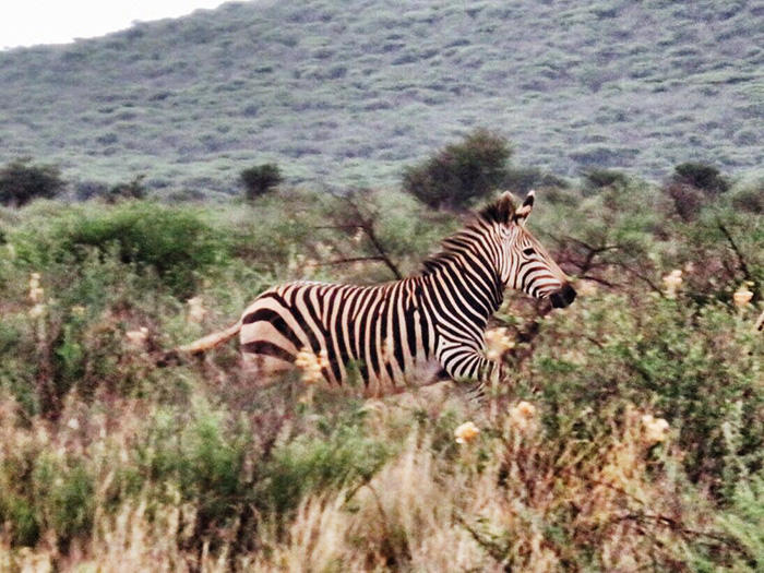 safari-1-zebra
