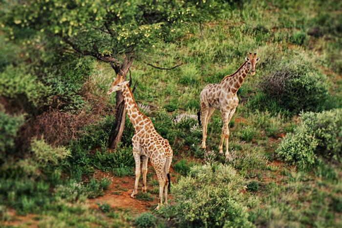 safari-3-giraffen-aus-der-luft