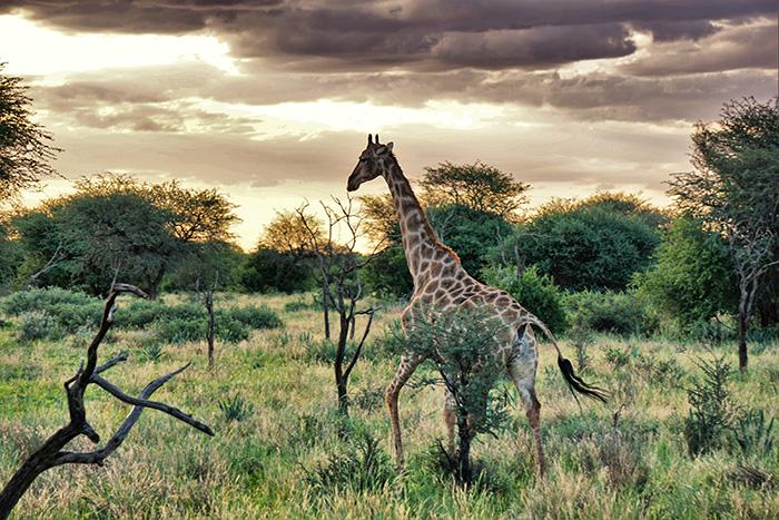 safari-4-giraffe