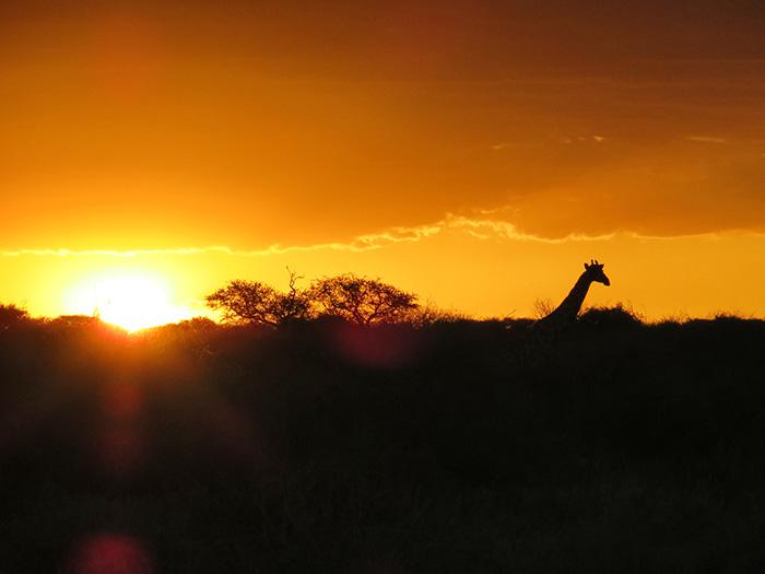 safari-4-griffe-im-sonnenuntergang