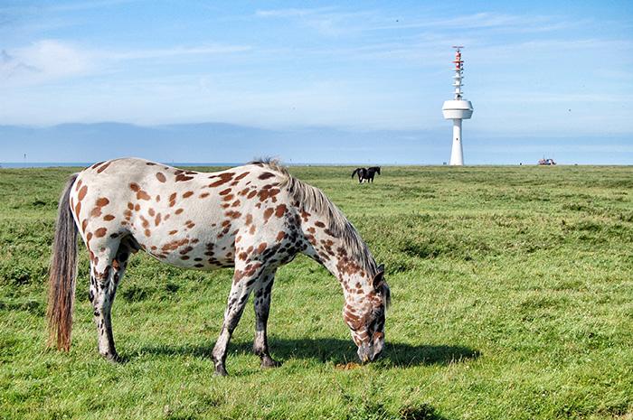 Wanderung zur Insel Neuwerk_kloeber_pferd
