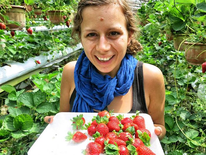 malaysia-urlaub-cameron-highlands-erdbeeren