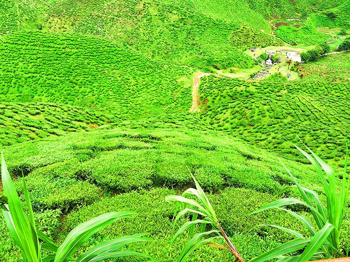 malaysia-urlaub-cameron-highlands-tee