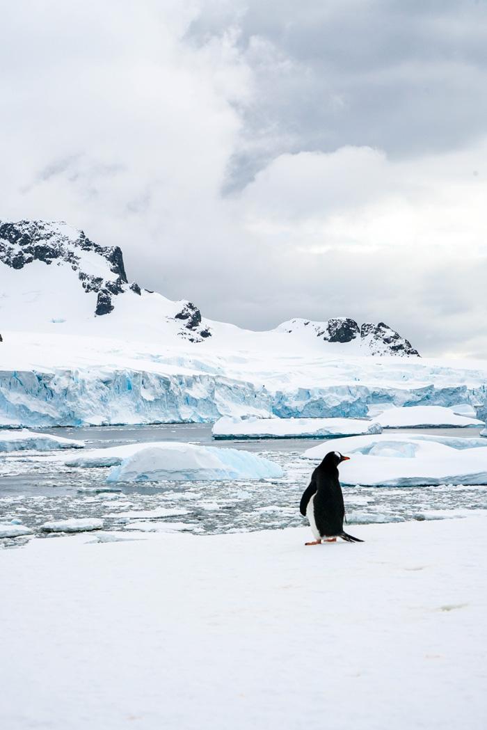 pinguin-antarktis