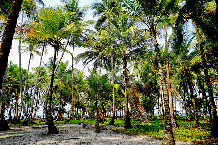 san-blas-wunderschoener-palmenwald