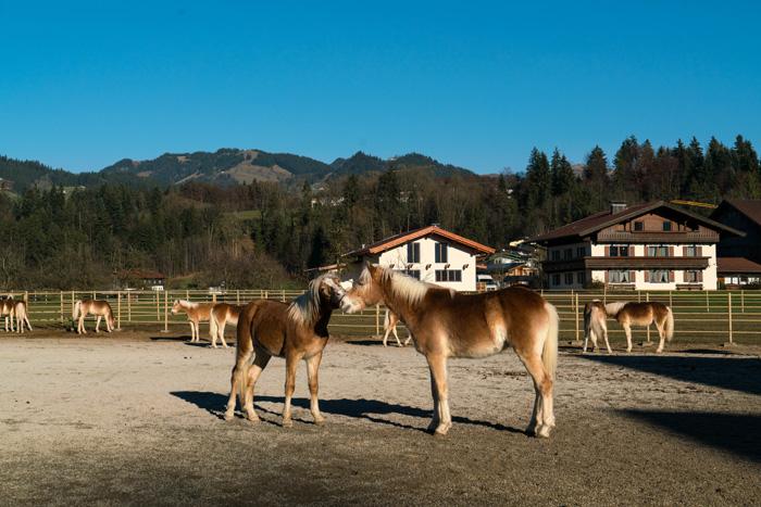 haflingerhof-ebbs