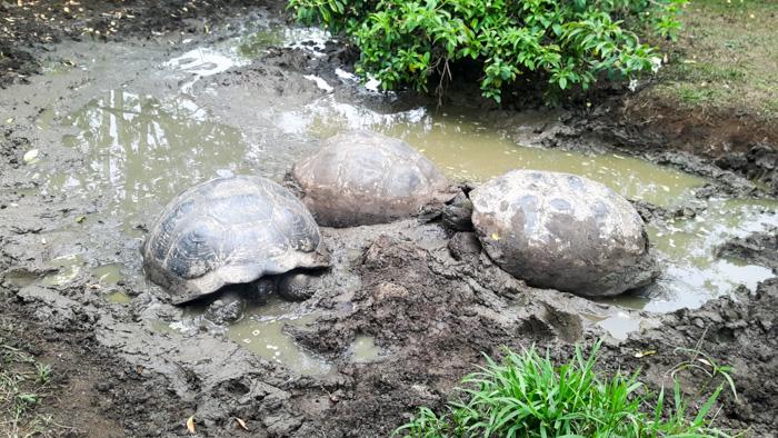 Galapagosinseln günstig bereisen-Schildkröten