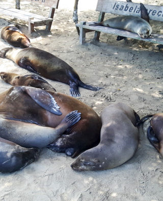 Galapagosinseln günstig bereisen-Seehunde