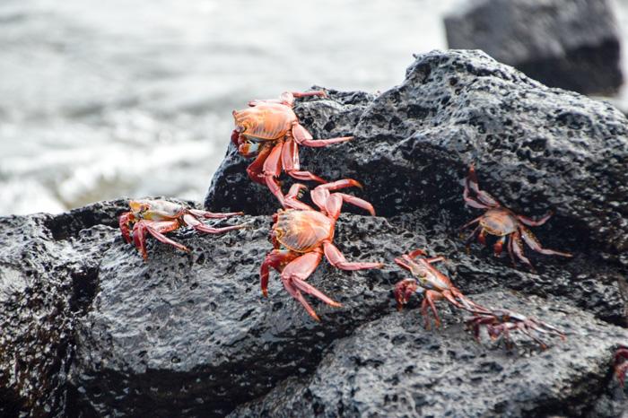Galapagosinseln günstig bereisen-Krebse