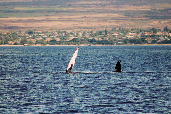 Hawaii Inselhopping Reisebericht-Maui Whales