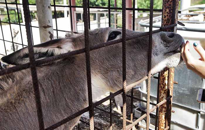 Esel auf dem Hof des Hofi Cas Cora