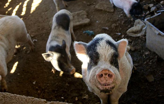 Schweine auf dem Hof des Hofi Cas Cora