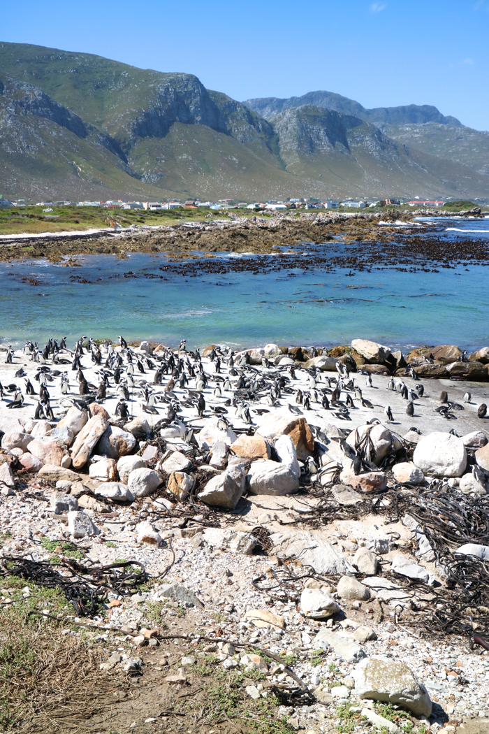 Das Pinguin Nature Reserve in Bettys Bay.