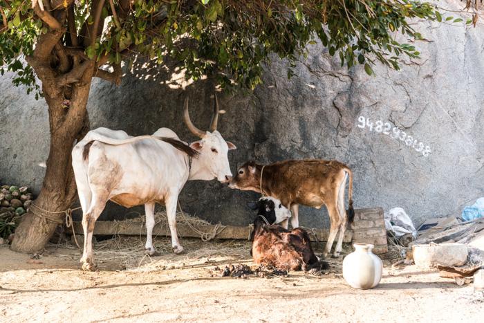 Kühe in Hampi