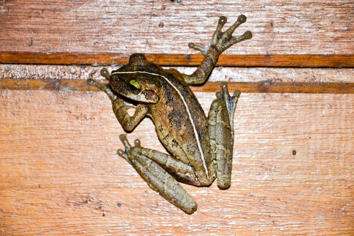 Frosch im Zimmer des Cuyabeno Reservat