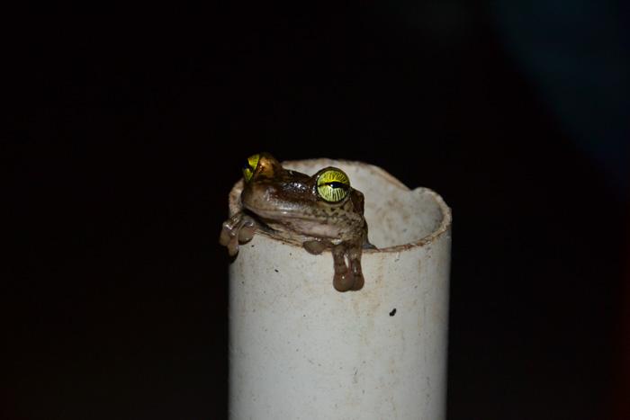 Frosch in Roehre Cuyabeno Reservat