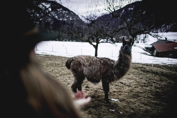 Lama in Oberbayern