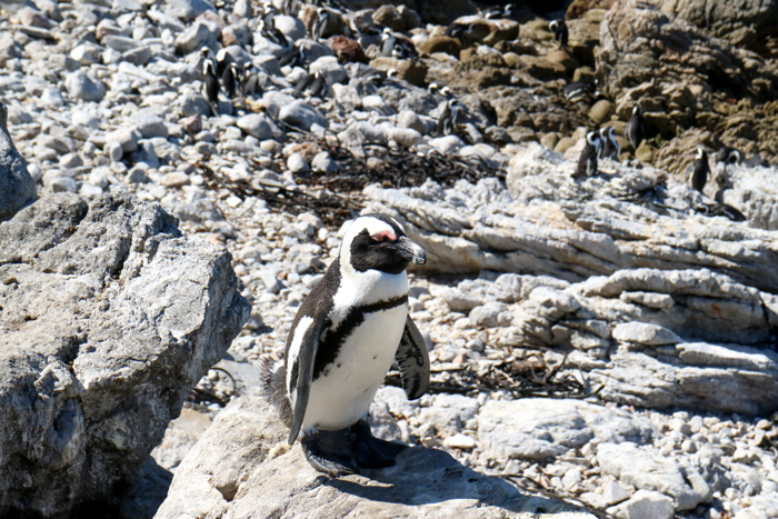 Pinguin Boulders Beach