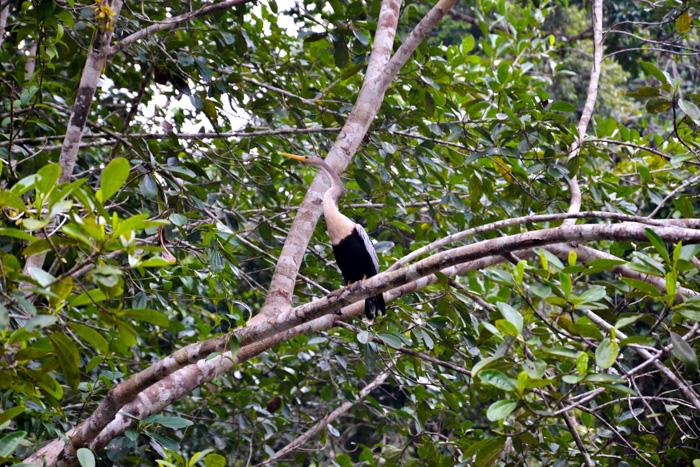 Schlangenhalsvogel Cuyabeno Reservat