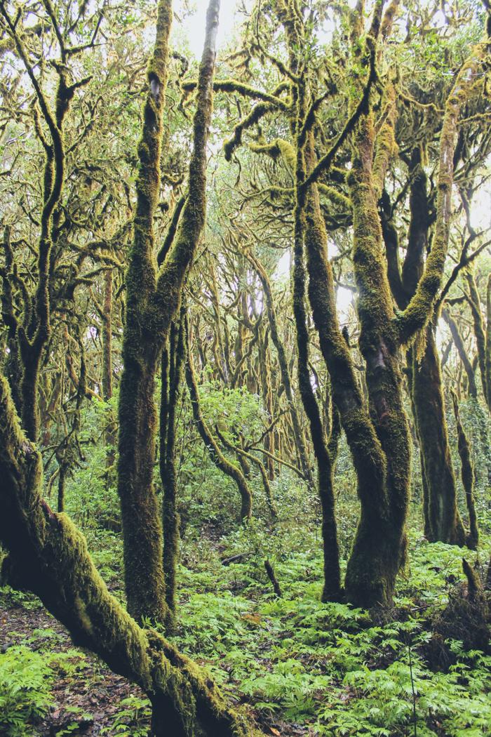Bäume im Nationalpark von La Gomera.