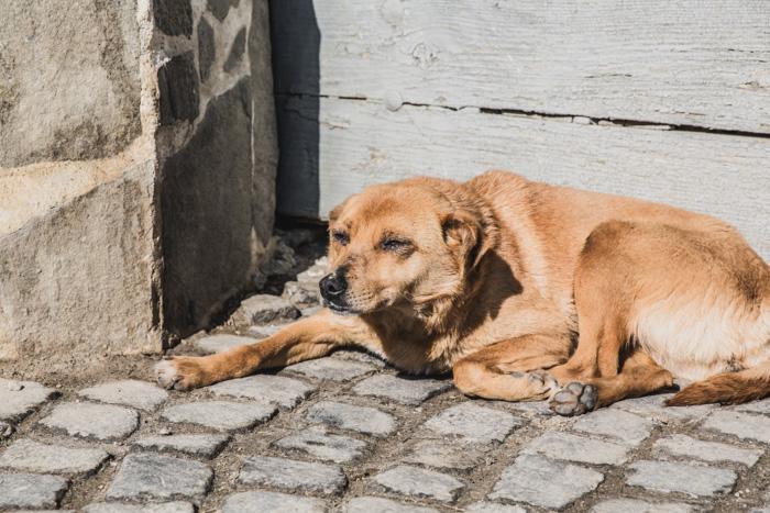 Straßenhund in Rumänien