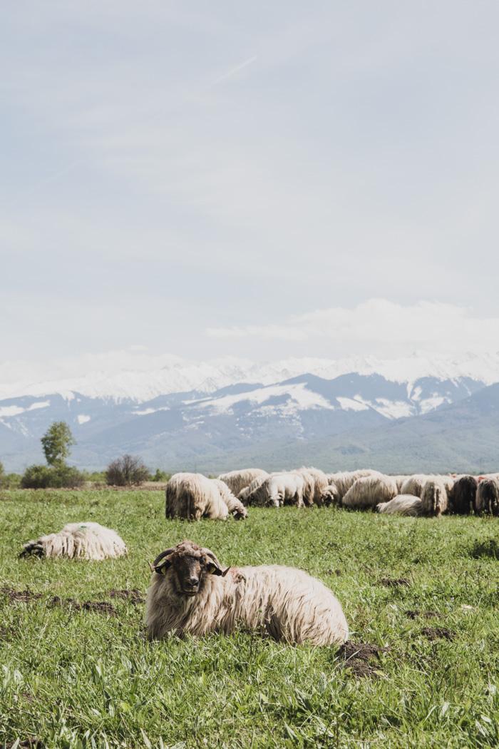 Wilde Schafsherde in Rumänien