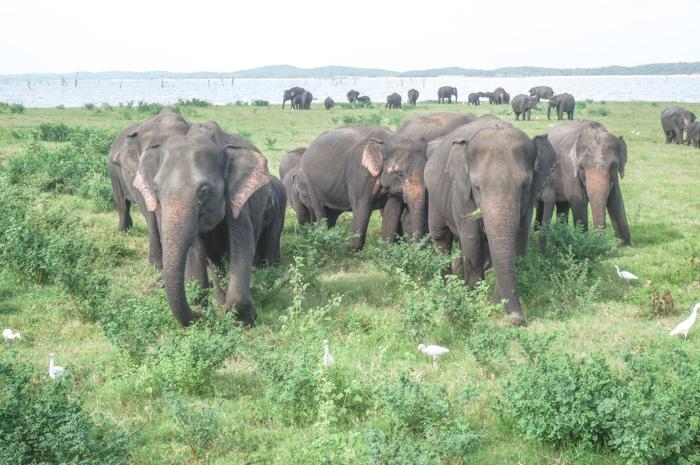 Elefantenherde Sri Lanka