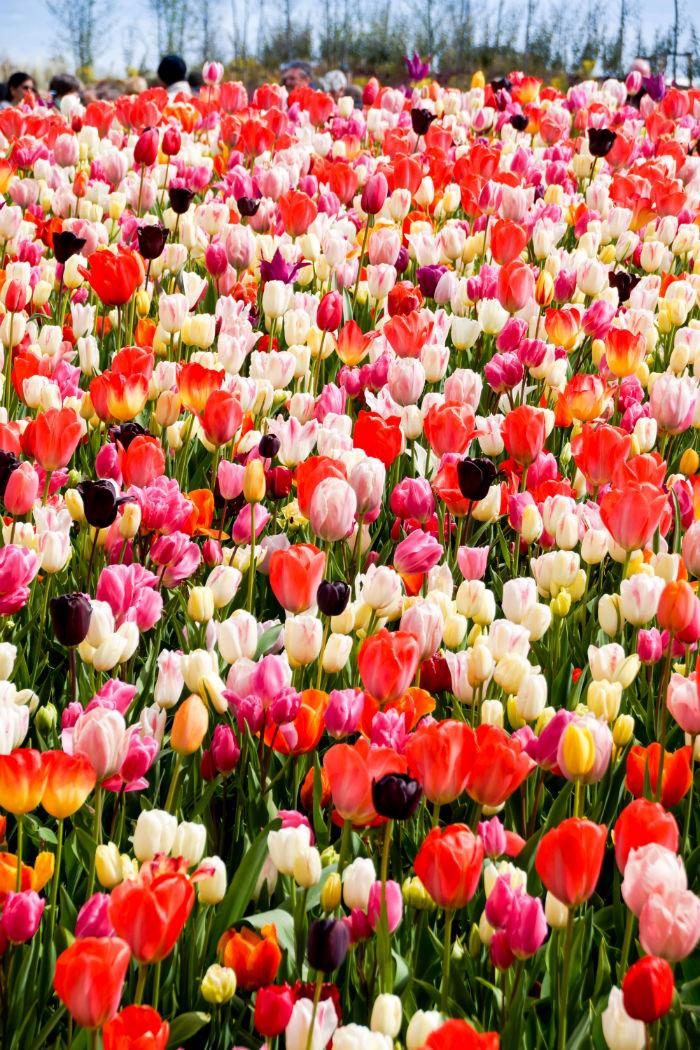 Holland im Frühling - Tulpen