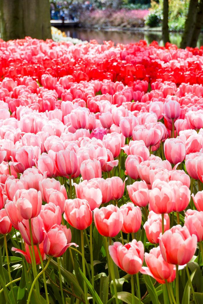 Holland im Frühling Tulpen