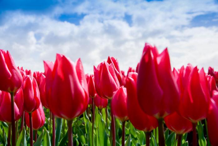 Holland im Frühling Tulpenfeld
