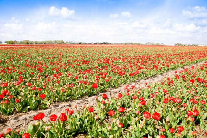 Holland im Frühling - Tulpen, so weit das Auge sieht