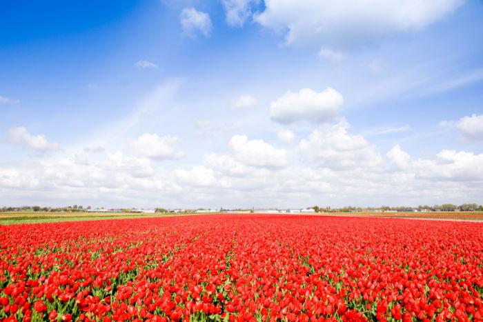 Holland im Frühling - Tulpen bis zum Horizont und weiter