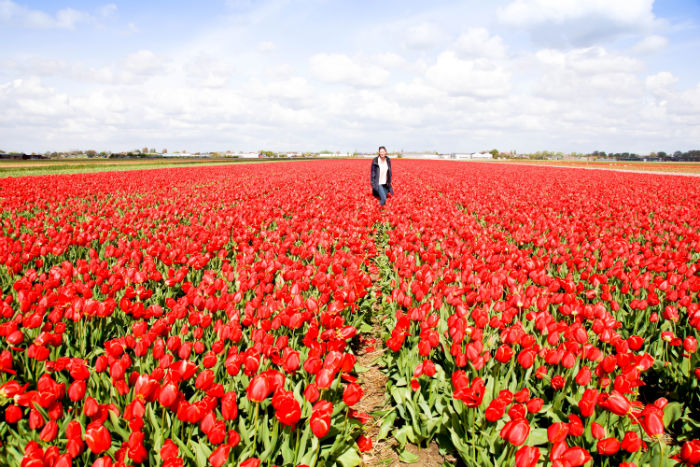 Holland im Frühling - rotes Tulpenmeer
