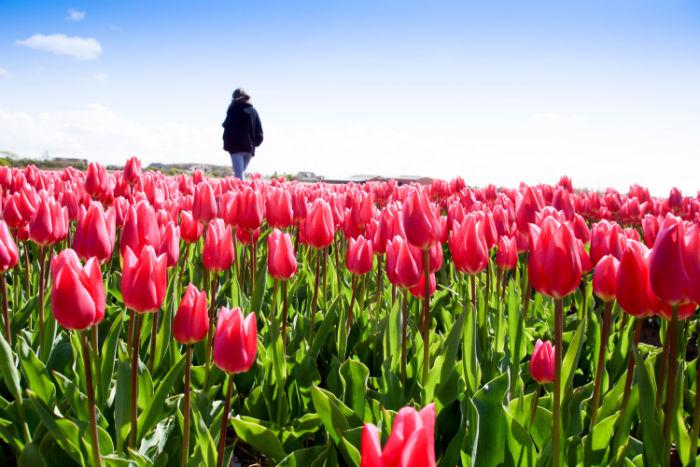Holland im Frühling - Pinkes Tulpenfeld