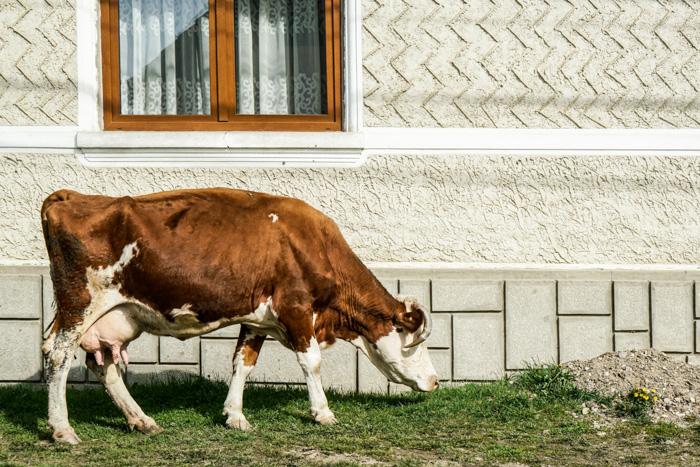 Kuh in Rumaenien