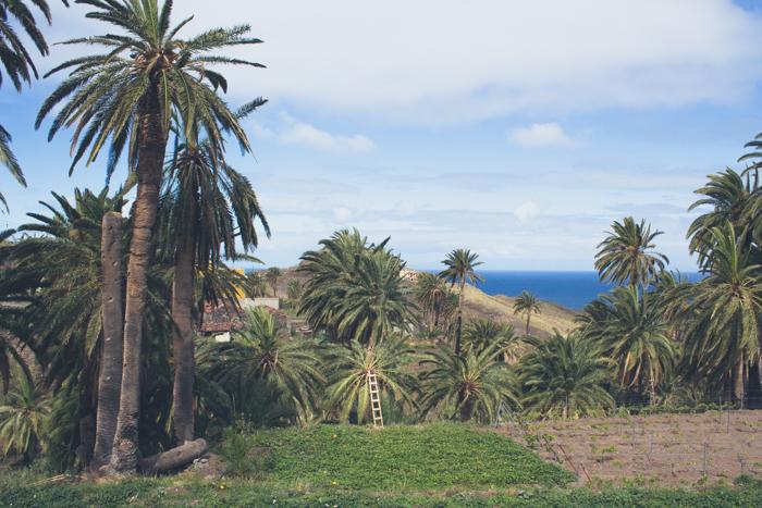 Die Palmen auf La Gomera werden alle paar Jahre gemolken.