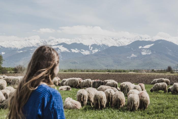 Schafsherde vor Karpatenkulisse