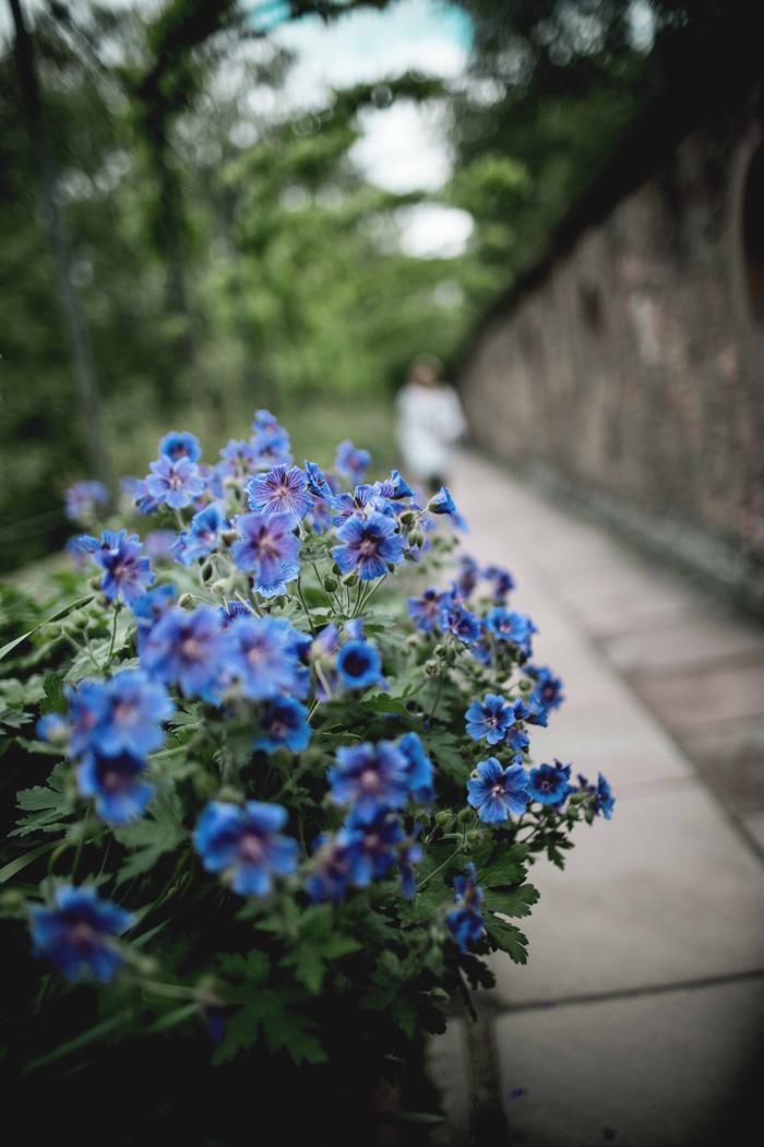 Blaue Blumen im Park