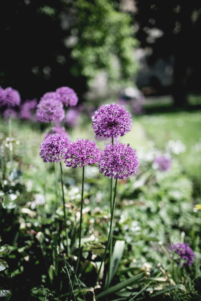 Lila Blumen