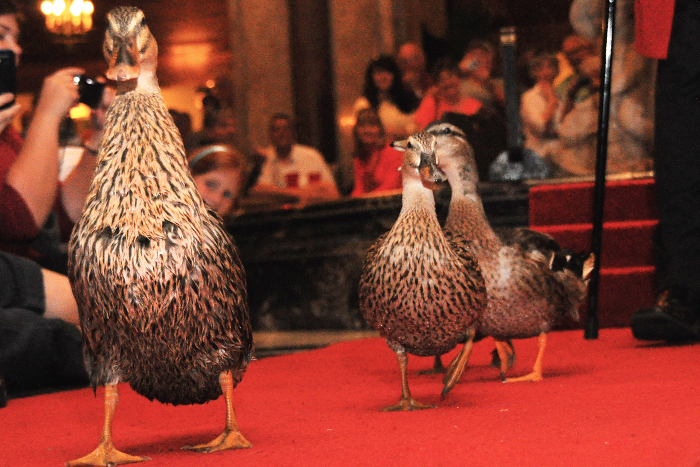 Enten im Peabody Hotel in Memphis