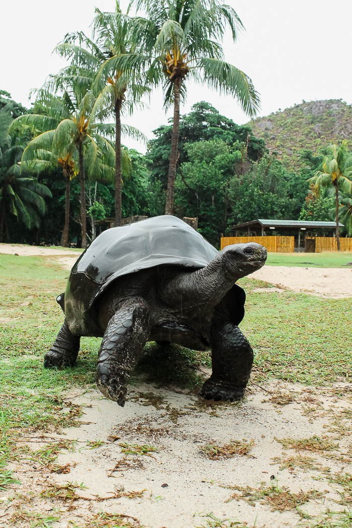 Auf Curieuse Island leben Riesenschildkröten