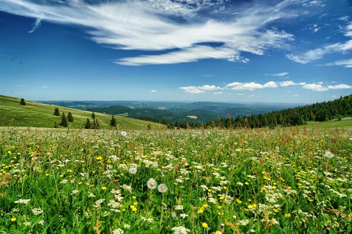Blumenwiese im Hochschwarzwald