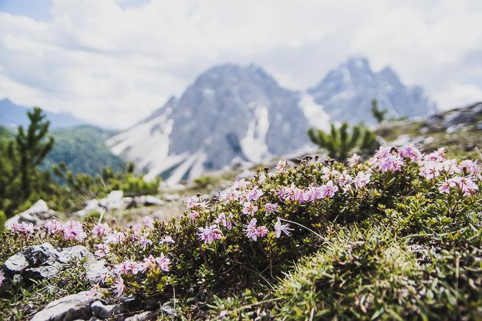 Dolomitenregion Drei Zinnen - Alpenblumen