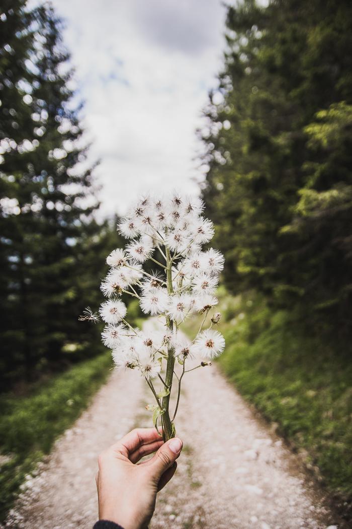 Dolomitenregion Drei Zinnen - Sonnenblumen