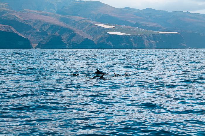 Delfine vor der Kanareninsel La Gomera