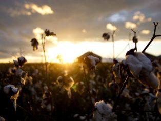 Cotton Field Sunset