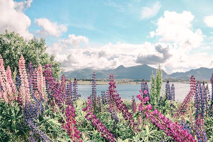 Blumen Norwegen Lofoten