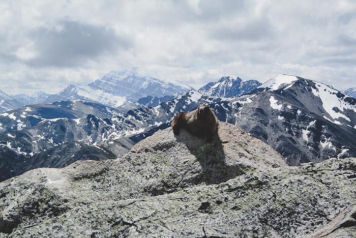Murmeltier Whistlers Mountain