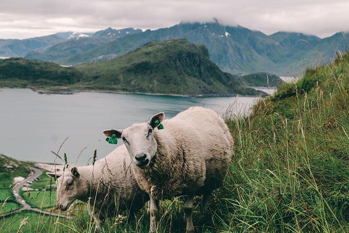 Schafe Berg Mannen