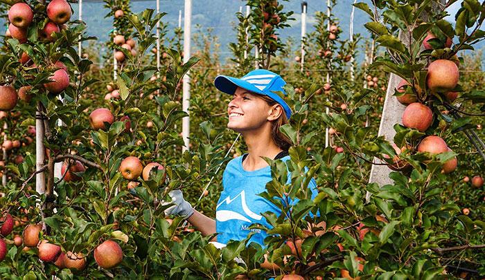 Apfelernte Christine Neder
